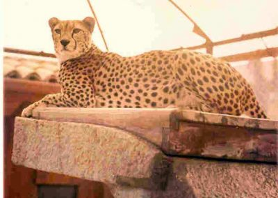 The Cheetah (archive image)
